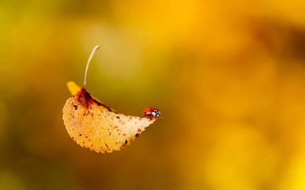 falling-leaf-and-lady-bug-600x375